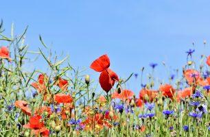 poppy-3441348_1280