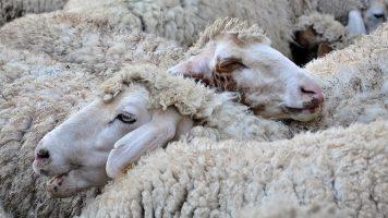 sheep-3417935_1280